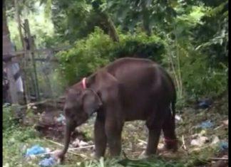 Anak gajah baru lahir, Gubernur Aceh langsung beri nama Intan Setia