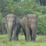 Gajah liar mengamuk di perkebunan Bener Meriah