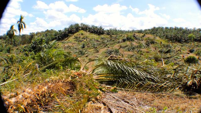 Puluhan hektar tanaman sawit di Leuser dihancurkan