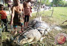 Warga Aceh Singkil tangkap buaya sepanjang 4,5 meter