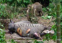 Dua ekor gajah di Aceh Timur mati diduga kesetrum