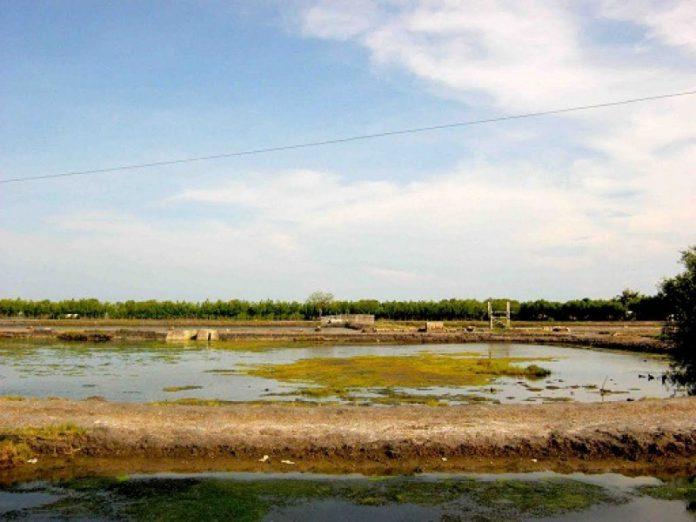 Puluhan tahun, 48 Hektare tambak di Pijay dibiarkan terlantar