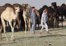 Unta dan domba Qatar terkena dampak pengucilan