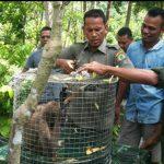 Peringati Hari Primata, BKSDA lepaskan empat monyet di hutan Aceh Jaya