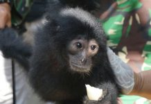 BKSDA Aceh lepasliarkan Trenggiling dan Kukang di Hutan Jantho