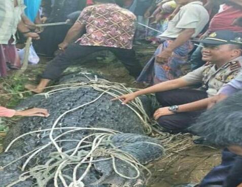 Warga jinakkan buaya berukuran 5,5 meter di Sungai Arakundo