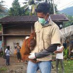 Ditemukan dengan kondisi stres, warga serahkan Orangutan ke BKSDA Kutacane