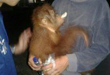 BKSA sita orangutan berperut buncit dari warga Aceh Tenggara