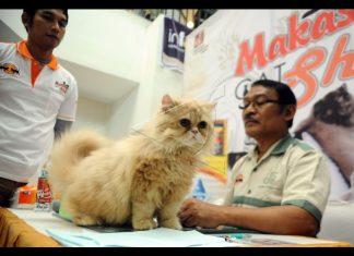 Juli 2018, ada kontes kucing internasional di Banda Aceh