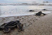 Bangkaru Dihuni Sejuta Penyu Langka di Pulau Banyak Barat